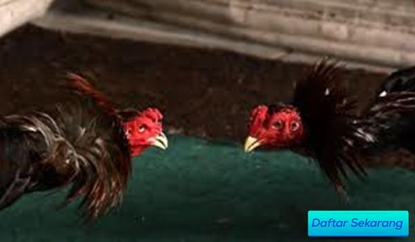 Cara Daftar Mudah Main Ayam Sabung Agen Resmi Online